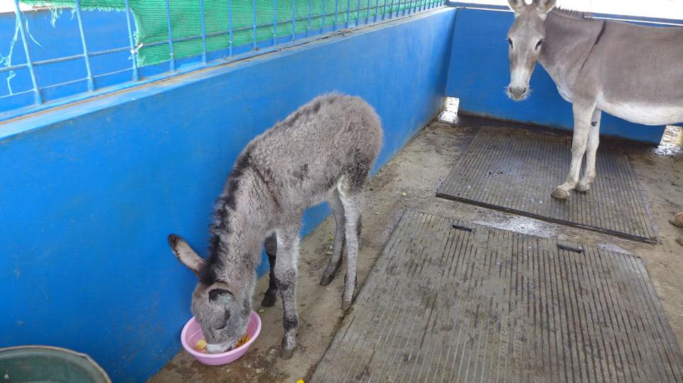bonaire-donkey-sanctuary-esel-baby