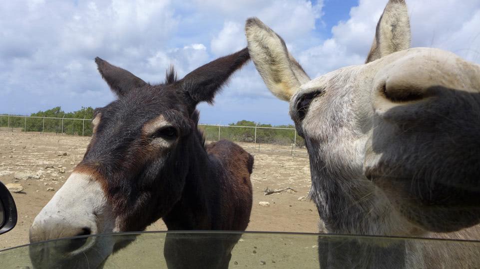 bonaire-donkey-sanctuary-neugier