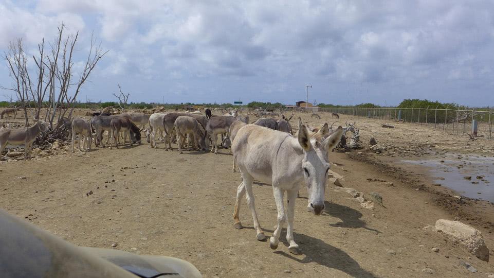 bonaire-donkey-sanctuary-rushhour