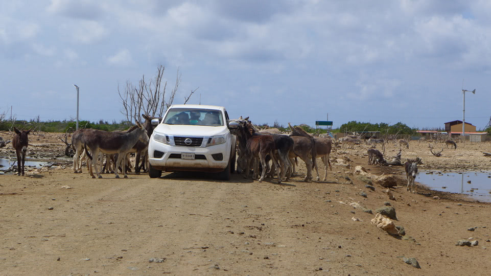 bonaire-donkey-sanctuary-stau
