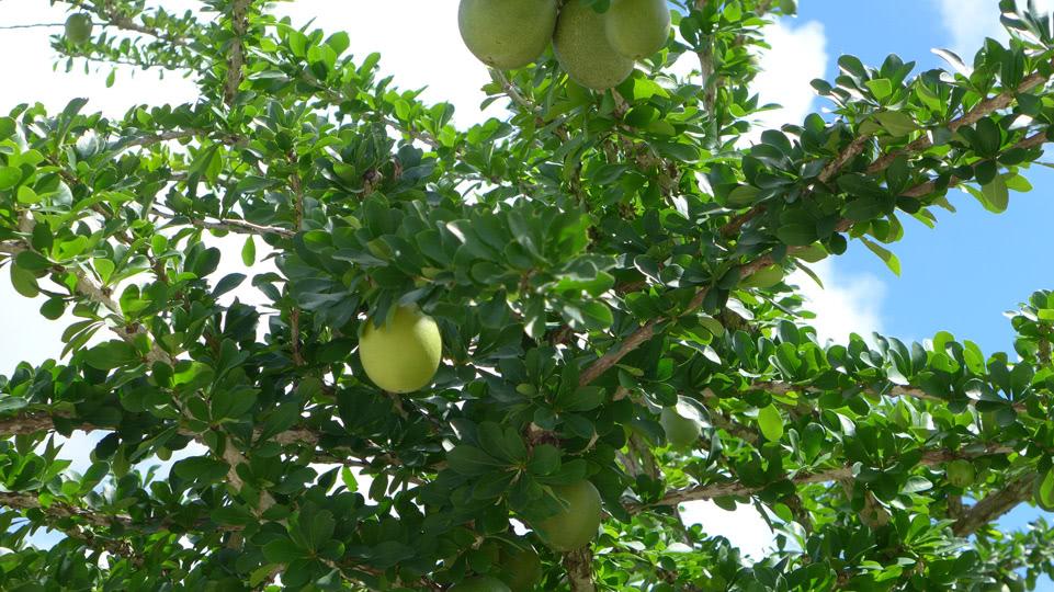 bonaire-hoch-hinaus-citrus-fruechte