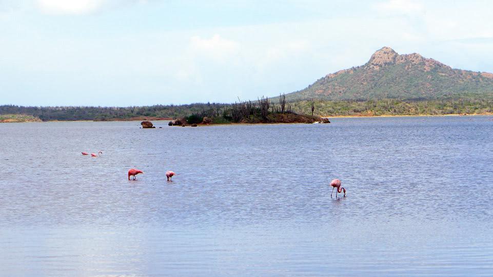 bonaire-nord-flamingos-an-der-strasse