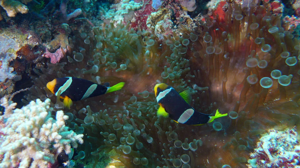 malediven-vilamendoo-tauchen-anemonefische-2014